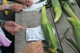 Measuring the sweetcorn. Whose will be the heaviest?